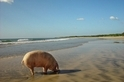挖貝殼的豬