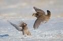 草原松雞打架