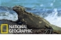 吃素的海中蛟龍:海鬣蜥
