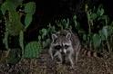 浣熊正在世界各地開疆闢土──而氣候變遷可能幫了牠們一把