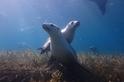 好奇的海獅