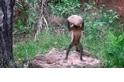 唯一會用石頭砸破果殼的猴子