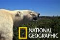 「卡滋卡滋!」看北極熊在夏日大啖雪雁蛋