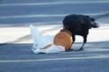 烏鴉愛吃起司漢堡……如今牠們的膽固醇升高了