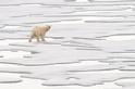 覓食中的母北極熊