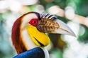 花冠皺盔犀鳥