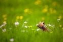 聞花香的小狐狸