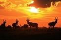 紅麋羚:自由的剪影