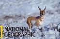 叉角羚的遷徙危機