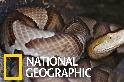 蛇如其名的「銅頭蝮」