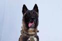 嚴格的軍犬訓練,以及為什麼「柯南」是我們最新的戰爭英雄