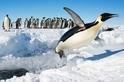 企鵝也會「飛」