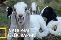 羊的瞳孔是……長方形的?!