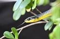 這些蛇會跳──科學家想知道為什麼