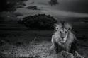 影像藝廊:獅子生與死