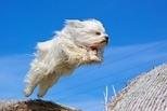 飛躍的哈瓦那犬
