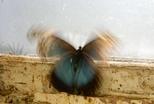 振翅飛舞的蝴蝶