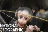 可愛的黑冠獼猴寶寶