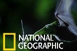 這種「長舌蝙蝠」是長管花的唯一授粉者