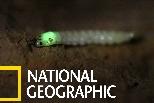 「願蟲上鉤!」用燈光吸引獵物上門的甲蟲幼蟲