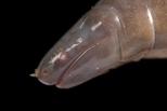 這種貌似蚯蚓的兩生類可能有帶毒的唾液