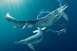 驚人的「火鴨雞」化石:魚龍強吞4公尺長巨大獵物,卻也付上代價