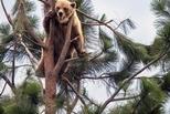 樹上的小灰熊