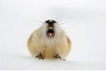 旅鼠真的會自殺嗎?解開動物迷思的真相