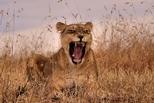 野性的呼喚:肯亞母獅