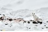 坐在獵物上的北極狐