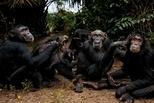 團聚時光:岡貝黑猩猩