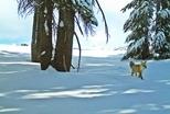 優勝美地百年首見稀有紅狐