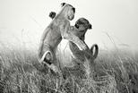 兄弟鬩牆:打鬥的幼獅