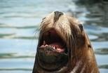 加州海獅為何將女孩拖入海中?