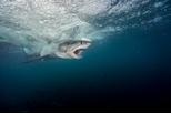 影像藝廊:大白鯊之謎