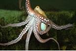章魚為什麼不會打結?