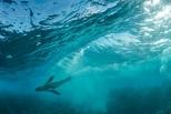 潛水好手:南非海狗