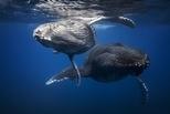 座頭鯨嬰兒與母親