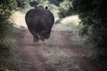 四腳漂浮的犀牛