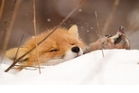 赤狐與松鴉