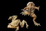 被做成壯陽藥而瀕危的蛙,如何靠盜獵者翻轉命運?