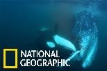 前線直擊:看虎鯨群如何獵捕灰鯨