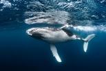 從對抗氣候變遷角度來看,一隻鯨魚值多少?