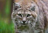 貓貓出沒!罕見目擊截尾貓在華盛頓特區漫步