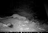 新北人有機會和牠當鄰居 一年監測證實 五股濕地有黃鼠狼
