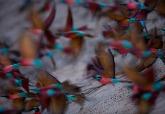 南方洋紅蜂虎