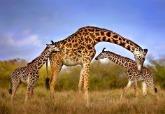 長頸鹿親子
