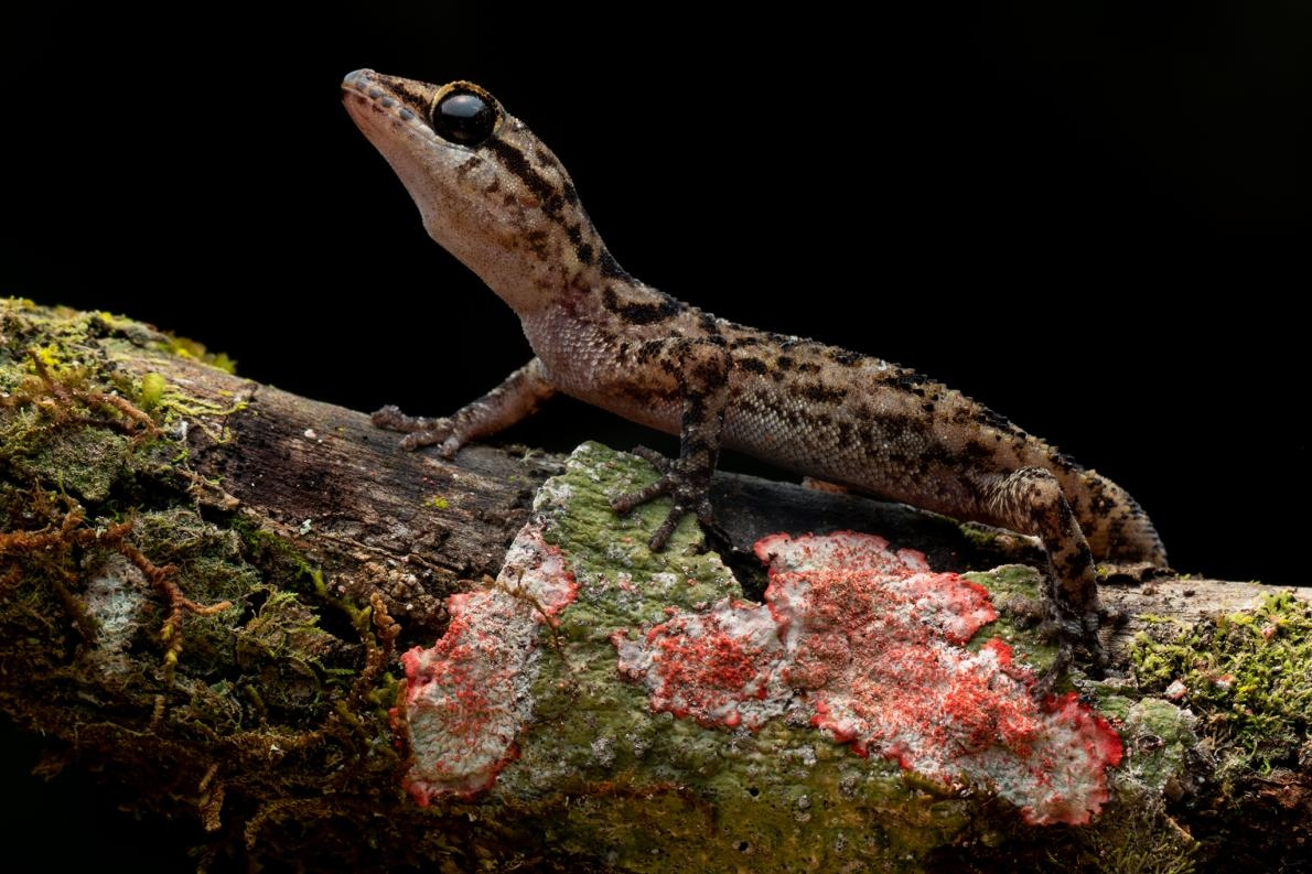 沙賓葉趾虎(Sabin's leaf-toed gecko, Phyllodactylus andysabini)只分布在一座火山上,全部棲地面積不足250平方公里。PHOTOGRAPH BY LUCAS BUSTAMANTE
