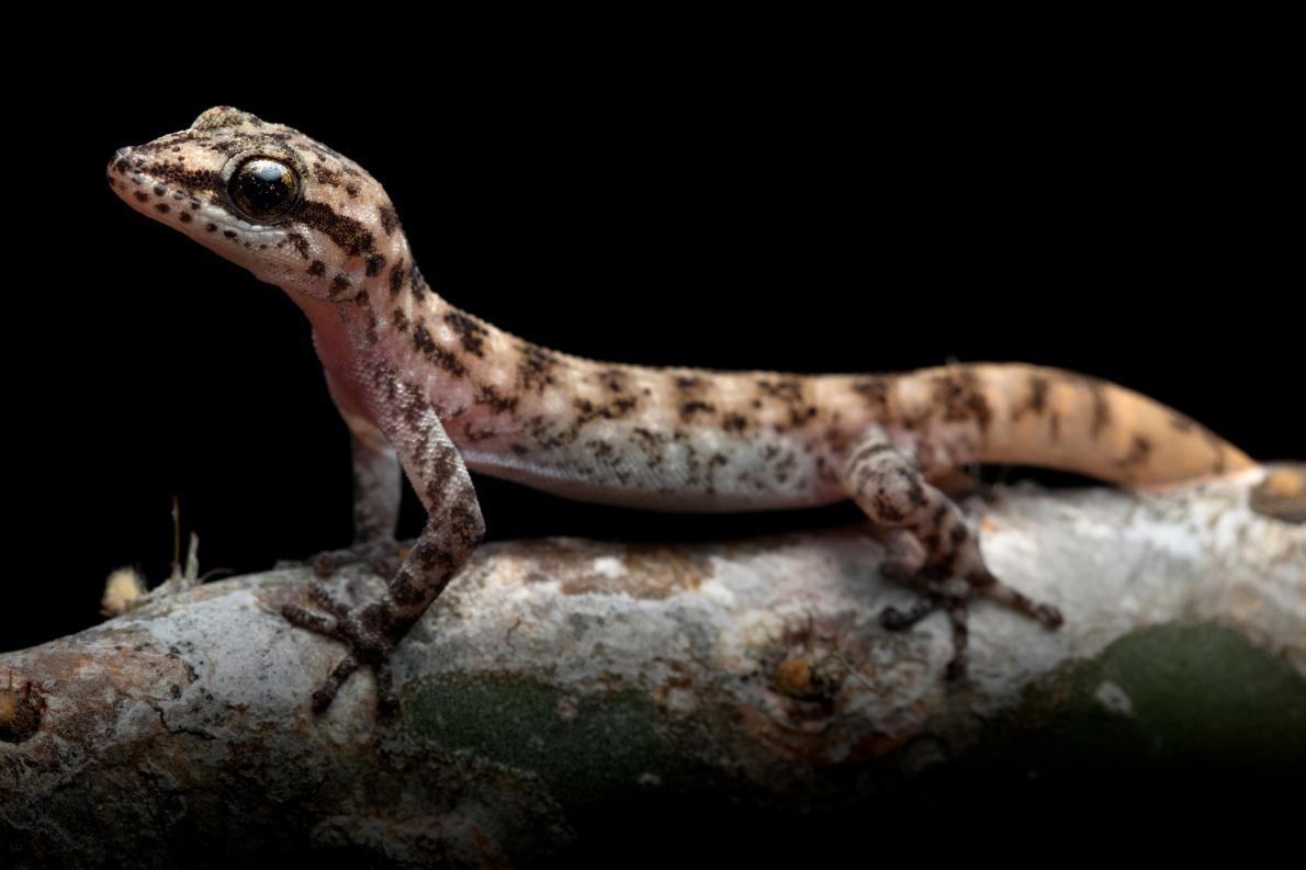 一度被認為是另一種壁虎亞種的馬雷斯葉趾虎(Simpson's leaf-toed gecko, <i>Phyllodactylus maresi</i>)現在獨立為一個新種。PHOTOGRAPH BY JOSE VIEIRA