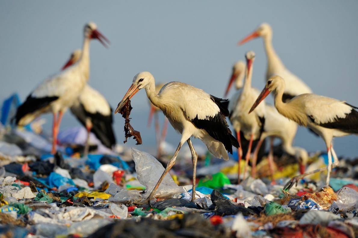 白鸛(white stork)在西班牙一處垃圾掩埋場覓食。這裡的垃圾量非常龐大,以致於白鸛不再遷徙,因為牠們一整年都可以在垃圾中找到食物PHOTOGRAPH BY JASPER DOEST, NAT GEO IMAGE COLLECTION